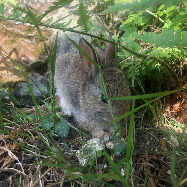 Baby rabbit spotted on a country walk