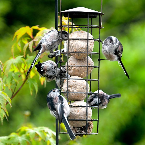 Fat balls and seed cakes are popular with a whole host of different birds (these are long-tailed tits)