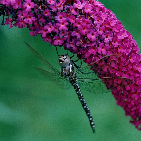 Bees, dragonflies and many other flying insects simply love Buddleia